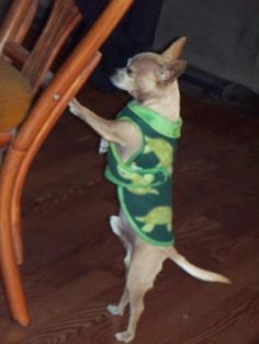 "Pet Clothes: ""Dustin"" a mini Chihuahua is modeling a Turtle fleece coat www.kaizensinstylekreations.com facebook.com/8996KaizenChun"