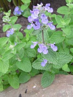 Catnip Nepeta cataria (lavender)    Stimulates visions and dreamlike states for those seeking deeper inner journeys. Brings peaceful state of bliss while observing life from within oneself. Helpful for those who seem ditzy or spaced out. Brings soul understanding into form in the physical world.