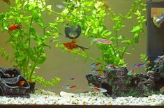 If you're sprucing up your tank with aquarium décor, it's going to need to be cleaned on occasion. Here's how to do it without endangering your fishes' environment. #AquariumDecorationsIdeas