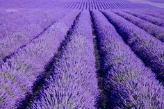 Lavender Field. BEAUTIFUL! <3