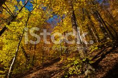 Autumn Trees at The Forest royalty-free stock photo
