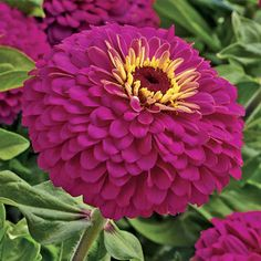 "Zinnia -These blooms measure 4 to 5 inches wide and more than an inch high, packed with zingy magenta-rose petals and sporting a merry little yellow ""crown"" at the center."