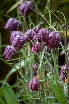 Bulbous Plants, Gothic Garden, Sensory Garden, Cottage Garden Plants, Black Garden, Spring Bulbs, Flower Farm, Autumn Garden, Dream Garden