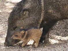 javelina /shaunmurry/ These cute monsters roam around my neighborhood in packs. The most recent pack I saw right in front of my house had two babies.