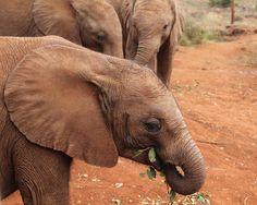 Baby Elephant II Photo - 8x10 Fine Art Photograph Print - Africa, Kenya on Etsy by ShutterShark, $25.00