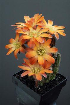 "Cactus.   (""Rebutia pygmaea torquata."")     From Chrome research: ""Accepted Scientific Name:Rebutia pygmaea( R.E.Fr.) Britton & Rose Cactaceae ... Aylosteratorquata(F.Ritter & Buining) Mosti & Papini."""