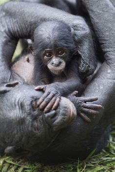A three-month-old female bonobo plays with her mother at Lola Ya Bonobo Sanctuary, Democratic Republic of Congo