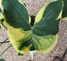 XANTHOSOMA ALBO MARGINATA - VARIEGATED ELEPHANT EAR PLANT - Starter Plant!!
