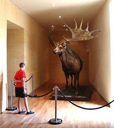 Irish Elk or Giant Deer (Megaloceros giganteus) by licornenoir, via Flickr