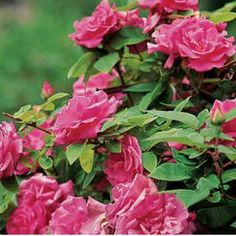 Zephirine Drouhin Climbing Rose. This classic old-fashioned climber offers big semi-double blooms of bright pink, peaking in spring and fall.