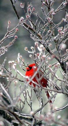 Cardinal -  Christmas #Holidays #RealEstate #Winter www.tinablackmon.com