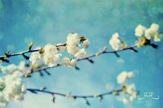 Glittering Sky and Blossoms - Photo Print, flower photography, spring, botanical, white blossoms, turquoise blue sky, texture photo art by GreengateImages on Etsy