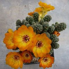Sulcorebutia tarabucoensis var. callecallensis
