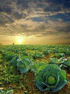 """""""Cabbage"""" Horizons by Phil Koch Milwaukee, Wisconsin"""