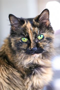 Pretty Cats, Beautiful Cats, Cute Cats, Funny Cats, Tortoise As Pets, Cat Anatomy, Anatomy Organs, Clumping Cat Litter, Cats And Kittens