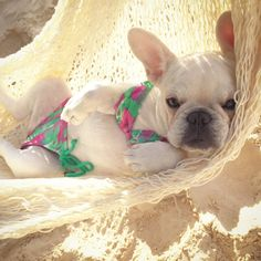 'SNORTS Illustrated', cover girl, French Bulldog ; )