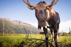 Portrait of a Moose #Alaska