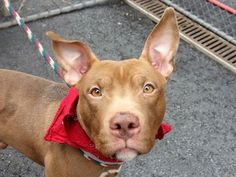 TO BE DESTROYED 5/8/14Manhattan Center My name is NIPPETT. My Animal ID # is A0998429.I am a male brown and white pit bull mix. The shelter thinks I am about 1 YEAR 5 MONTHS old.I came in the shelter as a STRAY on 05/02/2014 from NY 11217, owner surrender reason stated was STRAY. MOST RECENT MEDICAL INFORMATION AND WEIGHT05/07/2014 Exam Type CAGE EXAM - Medical Rating is 3 C - MAJOR CONDITIONS , Behavior Rating is NH ONLY, Weight 32.0 LBS.coughing, nasal discharge seen as per Dr. 0915 start…