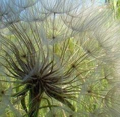 Seedheads. No attribution found.