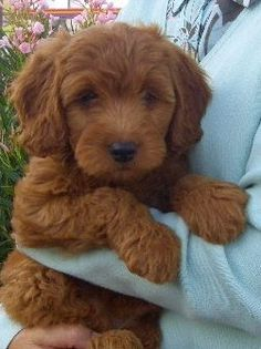 Golden Doodles, love the chocolate brown color of this one. They are like live stuffed animals