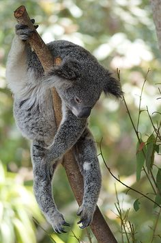 To conserve energy, koalas sleep 18 to 22 hours a day.