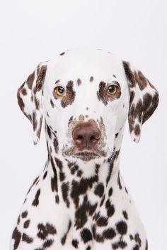 Lia #dalmatiner #pfotentick #hundefotografie #fotostudio #hundeblog #hund #dog…