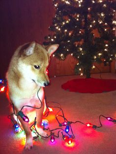 Christmas Shiba. Reminds me of the time I found my shiba tangled in yarn.