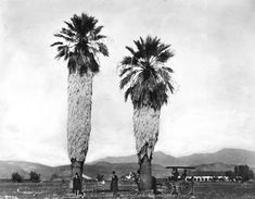 Men rest beneath two fan palms, perhaps planted by Spanish missionaries, in front of Mission San Fernando (ca. 1886), courtesy of the Title Insurance and Trust-C.C. Pierce Photography Collection of the USC Libraries.