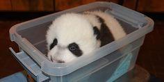 Giant Panda Update: Bei Bei Weighs 9.5 Pounds!