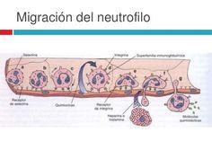 neutrofilos en inflamacion - Buscar con Google