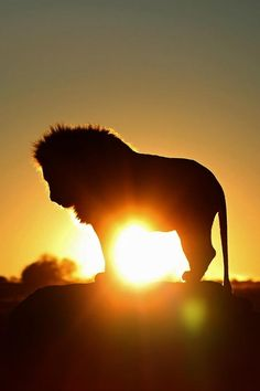 Lion with Sunset or Sunrise, Nature is Beautiful. Amazing Animals, Animals Beautiful, Beautiful Lion, Majestic Animals, Beautiful Images, Animals And Pets, Cute Animals, Wild Life Animals, Lion Love