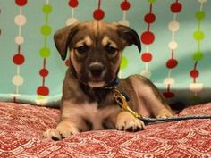 Adopt Sneezy On With Images Labrador Retriever Puppies Labrador Retriever Help Homeless Pets