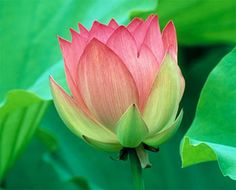 National Flower of India - Indian Lotus - Indian National Flower ...