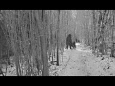In this video you will see a small pack of bigfoot creatures. Sasquatch/bigfoot creatures do exist and roam our forests today. These mysterious and monstrous. Real Bigfoot, Finding Bigfoot, Bigfoot Sasquatch, Bigfoot Found, Bigfoot Pictures, Bigfoot Pics, Bigfoot Movies, Paranormal, Pie Grande