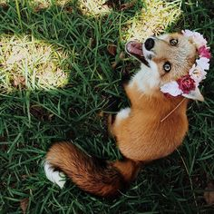 Meet Juniper, The Orange Pet Fox That Can't Stop Smiling  Click photo to see more photos of her!
