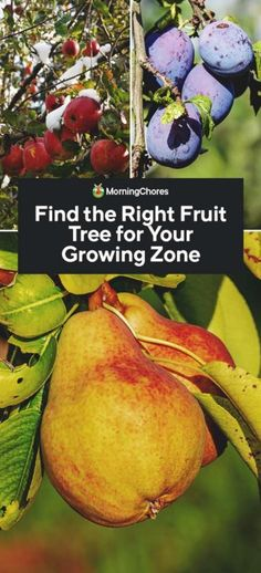 Are you looing for the right fruit tree for your growing zone? Not all fruit trees can be grown in USDA hardiness zones, so you have to pick the right type. Growing Peach Trees, Growing Tree, Growing Plants, Growing Vegetables, Apricot Tree, Plum Tree, All Fruits, Best Fruits, Fruit Trees In Containers