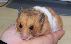 Le hamster doré (Syrien) et les hamsters nains... - Au Bazar des NAC - Association de protection et Refuge pour les Nouveaux Animaux de compagnie