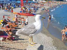 Gabbiano vanitoso sulla spiaggia di Spotorno (SV)