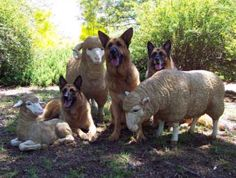 "We forget they are ""shepherds"" and not all k9s! #germanshepherd"