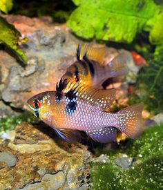 Mikrogeophagus ramirezi | Freshwater | Species Profiles | TFH Magazine®