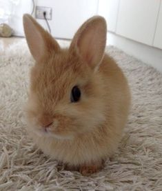 animals and pets Rabbit; Cute Baby Bunnies, Baby Animals Super Cute, Cute Little Animals, Cute Funny Animals, Lop Bunnies, Baby Animals Pictures, Cute Animal Pictures, Fluffy Animals, Animals And Pets