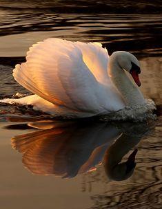 Swan A selection of bird photos Beautiful Swan, Beautiful Birds, Animals Beautiful, Nature Animals, Animals And Pets, Cute Animals, Mundo Animal, Cute Birds, Swan Lake
