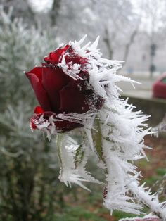 frost on a rose…beautiful!