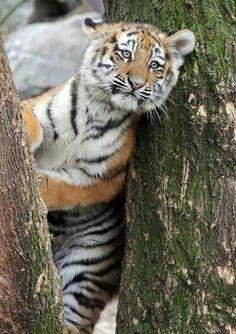 Tiger cub | Big Cat | Wild Cat