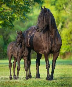 Horse Photography - 2377-47.jpg :: Friesian horse mare and foal.