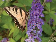 Butterfly bushes (Buddleia or Buddleja) are large, fast-growing shrubs whose flowers are irresistible to butterflies. Buddleias are easy-care plants, but they're invasive in some areas. Look for sterile cultivars which don't set seed and therefore don't run wild.