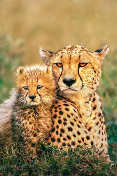 Small Wild Cats, Big Cats, Cats And Kittens, Cute Cats, Cats Meowing, Pretty Cats, Beautiful Cats, Animals Beautiful, Wild Animals Photography