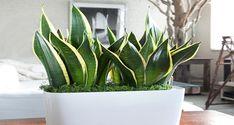 Les plantes d'intérieur qui purifient l'air de vos maisons en 6 heures.
