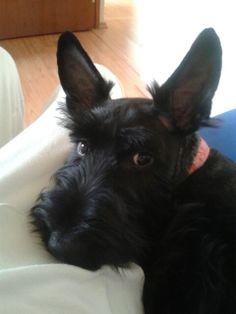 Scottish terrier_Kala