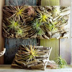 glue driftwood to a board, then add air plants!